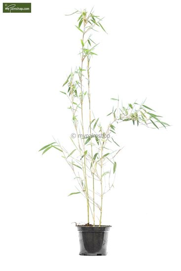 Fargesia nitida Great Wall - total height 50-70 cm - pot 1 ltr