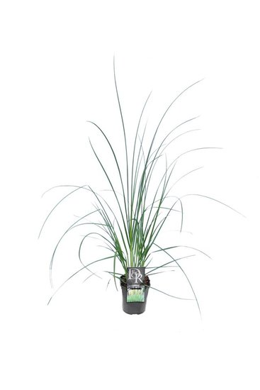 Cortaderia selloana Mini Pampas - pot 2 ltr