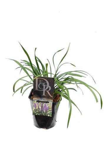 Liriope muscari Moneymaker - total height 30-40 cm - pot 2 ltr