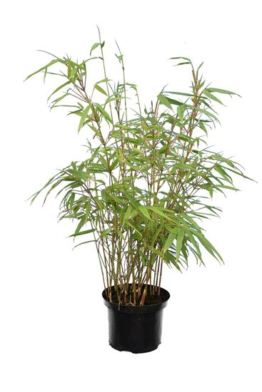 Fargesia rufa - total height 40-70 cm - pot 2 ltr