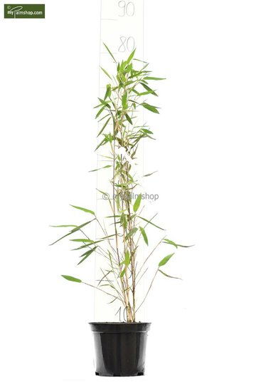 Fargesia nitida Black Pearl - total height 50-70 cm - pot 1 ltr