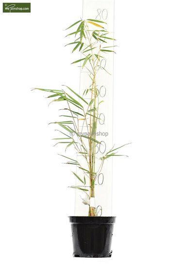 Fargesia robusta Campbell - total height 40-60 cm - pot 1 ltr