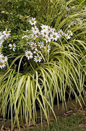 Carex oshimensis Evergold - pot 5 ltr