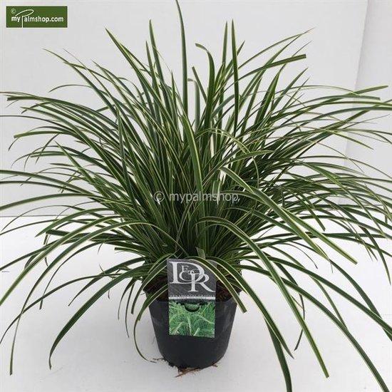Carex morrowii Ice Dance - pot 5 ltr