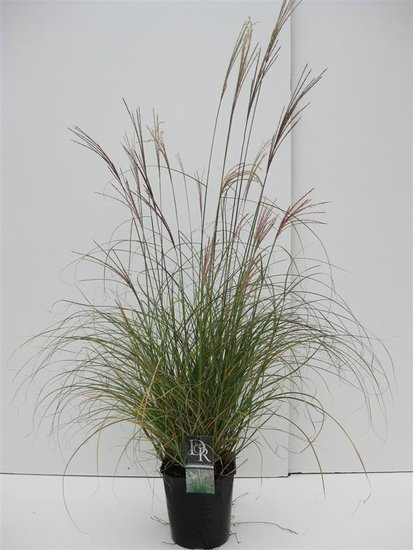 Miscanthus sinensis Adagio - pot 5 ltr