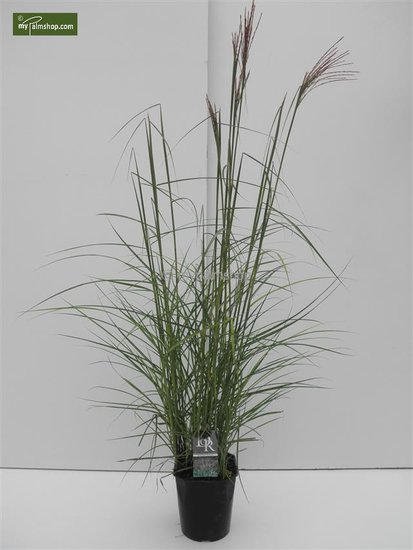 Miscanthus sinensis Ferner Osten - pot 5 ltr