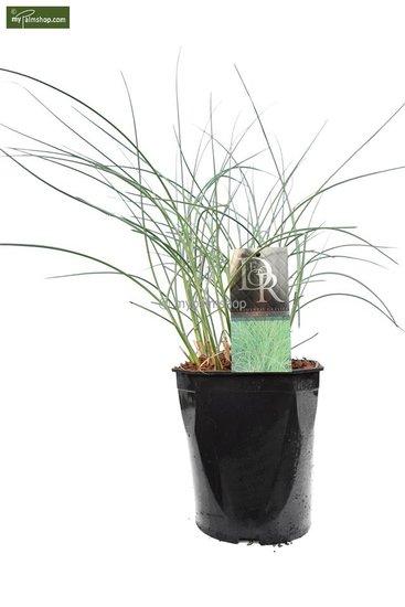 Miscanthus sinensis Morning Light - pot 5 ltr