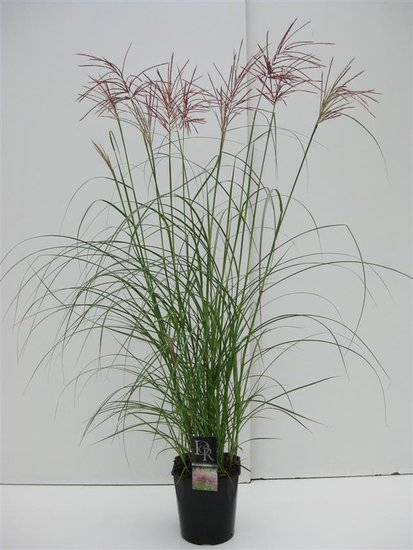 Miscanthus sinensis Red Chief - pot 5 ltr