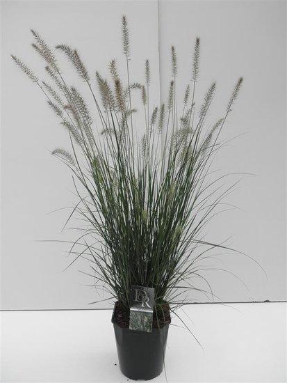 Pennisetum alopecuroides Hameln - pot 5 ltr