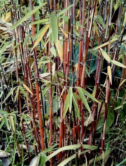 Fargesia jiuzhaigou total height 70-90 cm - pot 2 ltr