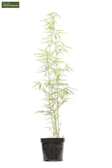 Fargesia robusta Campbell - total height 80+ cm - pot 5 ltr
