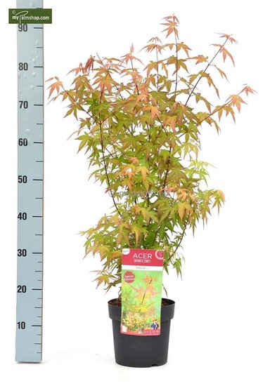 Acer Palmatum Redwine - total height 70-90 cm - pot 3 ltr