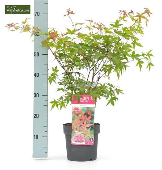 Acer palmatum Beni-maiko - total height 50-60 cm - pot 3 ltr