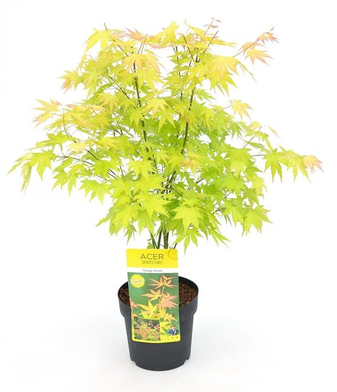 Acer Palmatum Orange Dream - total height 60-80 cm - pot 3 ltr