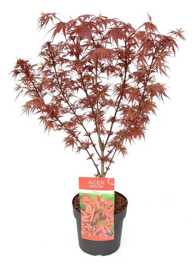 Acer Palmatum Shaina - total height 60-80 cm - pot 3 ltr
