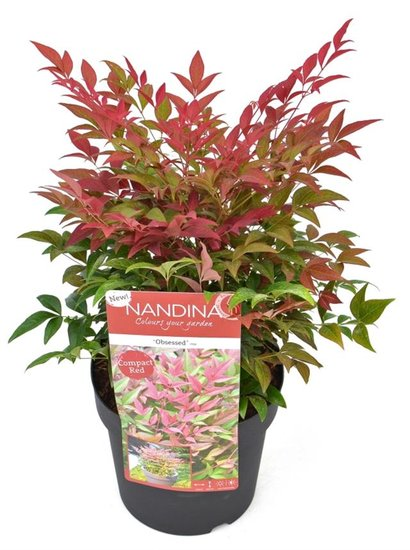 Nandina domestica Obsessed - total height 40-50 cm - pot 3 ltr