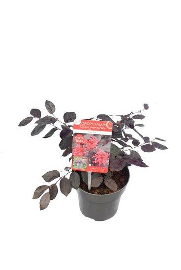 Loropetalum Ever Red - total height 35-45 cm - pot Ø 14 cm