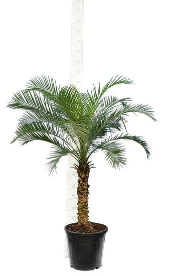 Phoenix roebelenii - trunk 50-60 cm - total height 120-140 cm - Ø 27 cm [pallet]