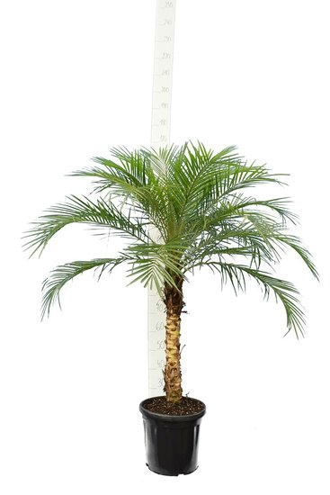 Phoenix roebelenii - trunk 40-50 cm - total height 110-130 cm - pot Ø 27 cm [pallet]