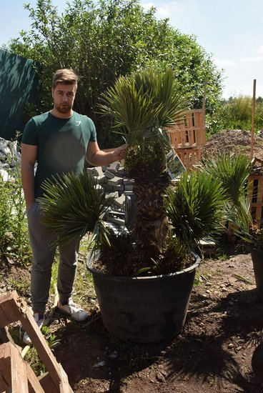 Chamaerops humilis Cerifera - trunk 60+ cm - total height 170+ cm - pot Ø 80 cm [pallet]
