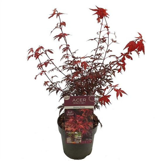 Acer palmatum Skeeters broom - total height 60-80 - top 3 ltr