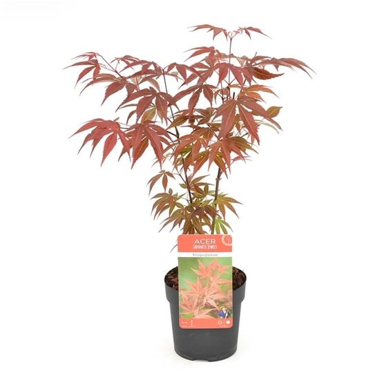 Acer Palmatum Atropurpureum - total height 60-80 cm - pot 3 ltr