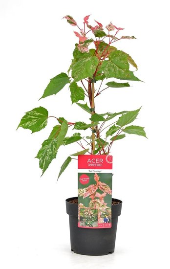 Acer conspicuum Red Flamingo - total height 40-50 cm - pot 3 ltr