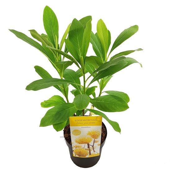 Edgeworthia chrysantha Grandiflora - total height 40-60 cm - pot Ø 13 cm