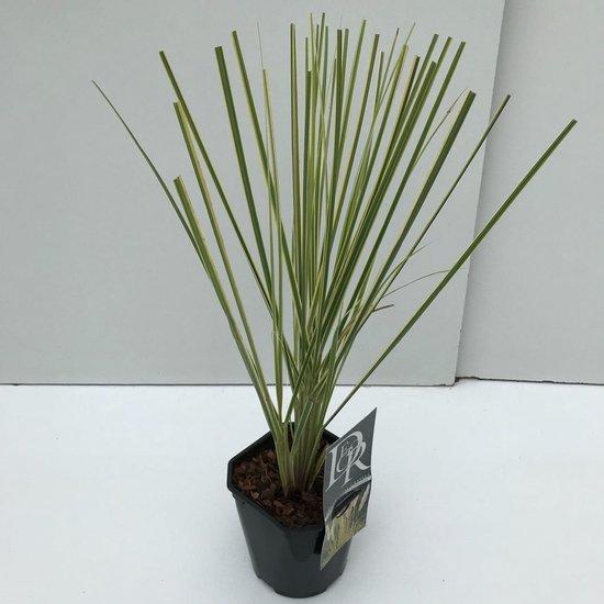 Cortaderia selloana Gold Mini Pampas - total height 50-60 cm - pot 2 lt
