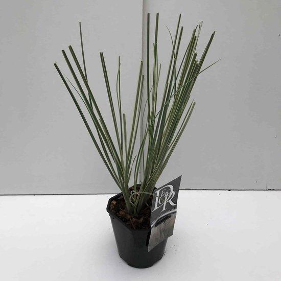 Cortaderia selloana Mini Silverpampas - total height 40-50 cm - pot 2 ltr