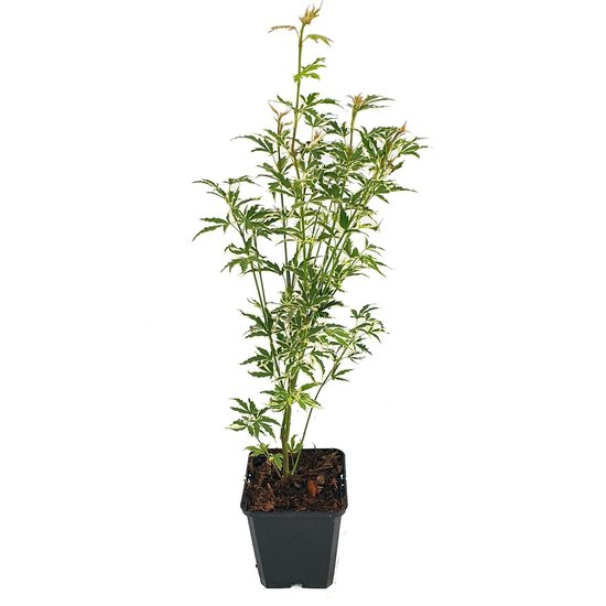 Acer palmatum Butterfly - total height 50-60 cm - pot 3 ltr