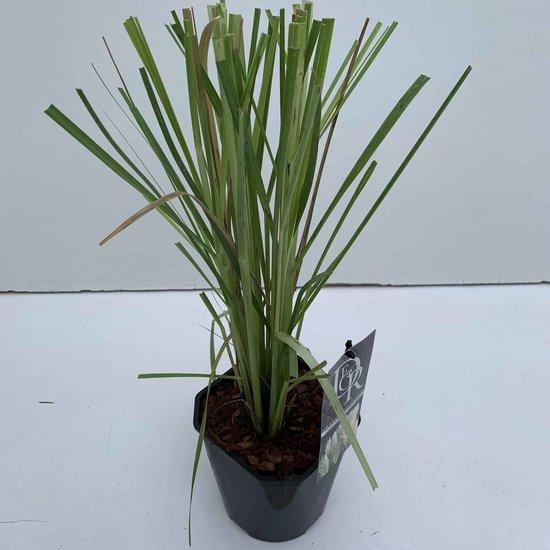 Cortaderia selloana - total height 40-50 cm - pot 2 ltr