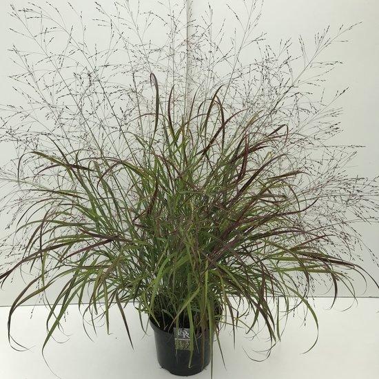 Panicum sangria - pot 2 ltr