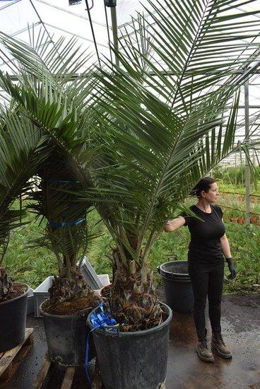 Jubaea chilensis - trunk 45-55 cm - total height 250+ cm - pot Ø 65 cm [pallet]