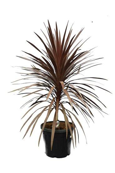 Cordyline australis Red Star - total height 130-150 cm - pot Ø 42 cm [pallet]