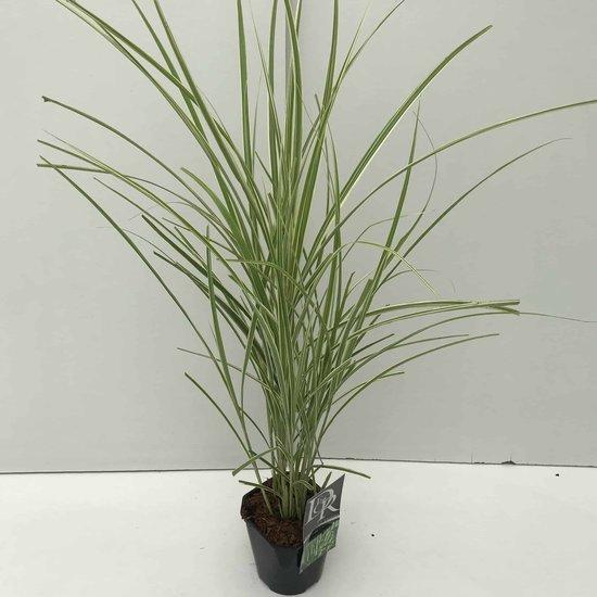 Miscanthus variegatus - pot 2 ltr