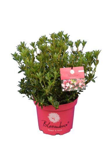 Bloombux magenta - Rhododendron micranthum Microhirs - pot 5 ltr
