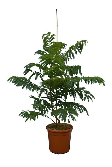 Jacaranda mimosifolia Bonsai Blue - total height 90-110 - pot Ø 32 cm