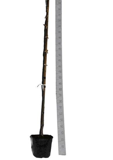 Albizia julibrissin Ombrella - total height 200+ cm - pot Ø 33 cm [pallet]
