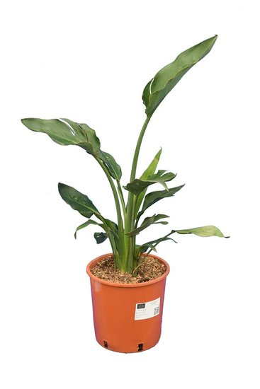Strelitzia reginae - total height 80-100 cm - pot Ø 26 cm - 2 plants/pot