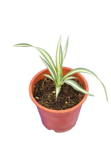 Yucca filamentosa Gold Heart - total height 15-20 cm -  pot Ø 14 cm