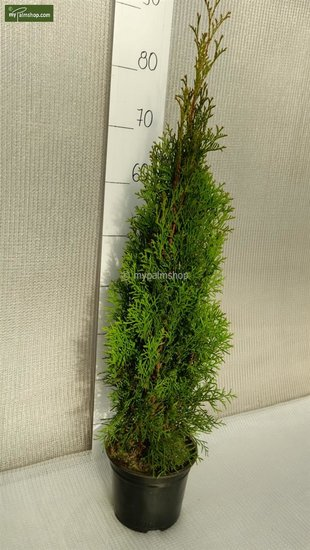 Thuja occidentalis Smaragd (CONTAINERPLANT) - 2 Ltr pot - 70-90 cm