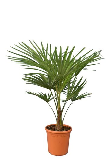 Trachycarpus fortunei - trunk 20 cm - total height 90-120 cm - pot Ø 25 cm