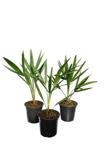 Trachycarpus fortunei - set of 3 - total height  50-70 cm - pot Ø 15 cm