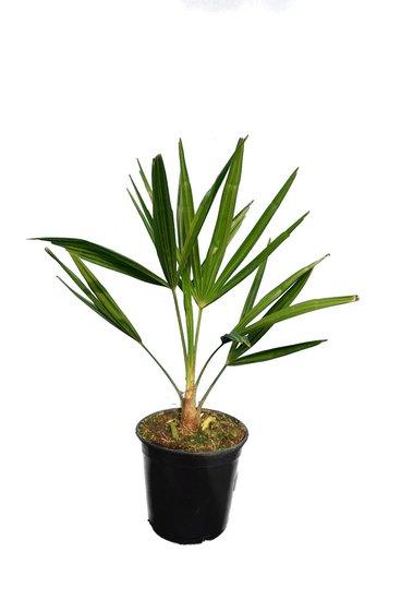 Trachycarpus fortunei - total height  50-70 cm - pot Ø 15 cm