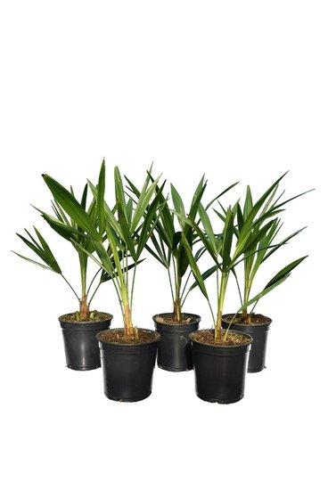 Trachycarpus fortunei - set of 5 - total height  50-70 cm - pot Ø 15 cm
