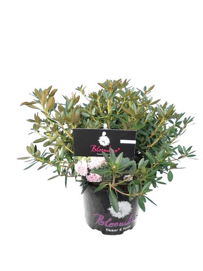 Bloombux pink - Rhododendron micranthum Inkarho - pot 2 ltr