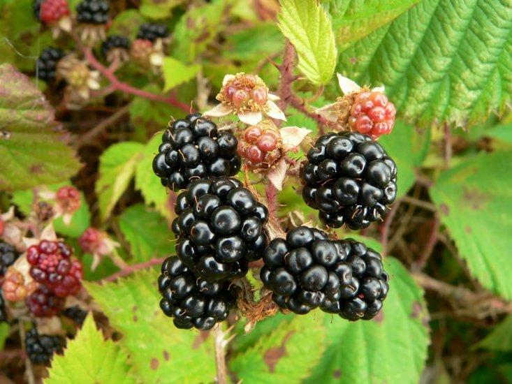 Rubus fruticosus sp. Black Satin 2 ltr pot