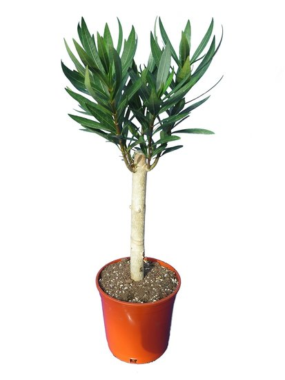 Nerium oleander white - trunk 20-30 cm - total height 50-70 cm - pot Ø 17 cm