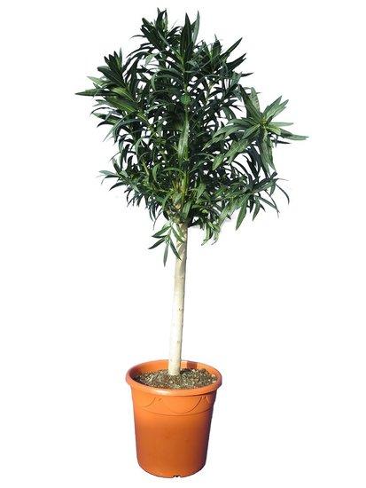 Nerium oleander wit - trunk 70-90 cm - total height 170-190 cm - pot Ø 40 cm [palllet]